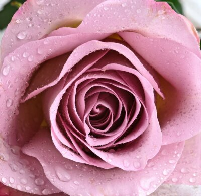 Fototapet Vacker, rosa violett