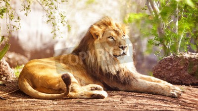 Fototapet Vacker stor afrikansk Lion fastställa med träd i bakgrunden