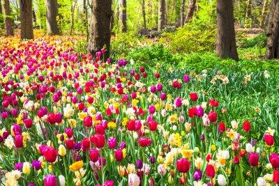 Fototapet vacker trädgård med blommande levande tulpaner i Keukenhof park, Holland