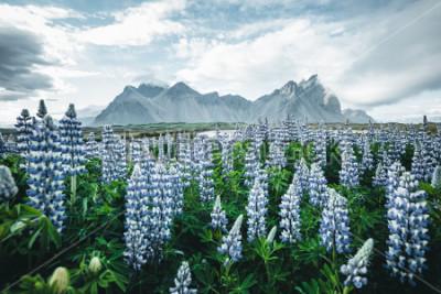 Fototapet Vacker utsikt över perfekta lupinblommor på solig dag. Platser Stokksnes udde, Vestrahorn (Batman Mount), Island, Europa. Underbar bild av sommar naturlandskap. Upptäck jordens skönhet.