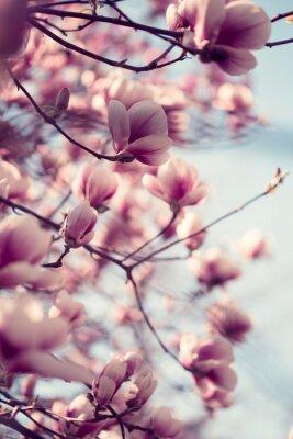 Fototapet Vackra rosa magnolia blommor