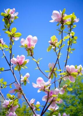 Fototapet Vackra rosa magnolia blommor på blå himmel bakgrund. Spring Floral Bild