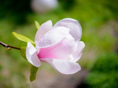Fototapet Vackra rosa Magnolia Blommor på grön bakgrund. Spring Floral Bild
