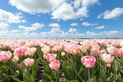 Fototapet vackra rosa tulpan fält i solig dag
