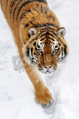 Fototapet Vackra vilda siberian tiger på snö