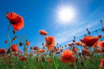 Fototapet vallmo blomma