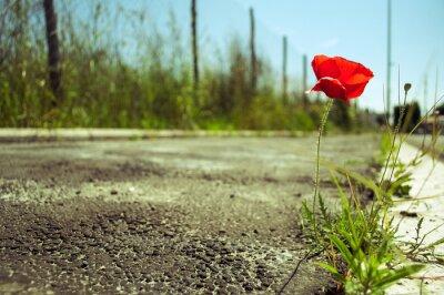 Fototapet Vallmo blomma i betongen: kraften i livet koncept
