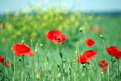 Fototapet vallmo blomma landskap vårsäsongen