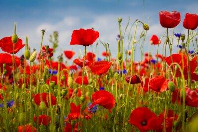 Fototapet Vallmo - The Poppy Field