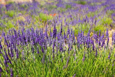Fototapet växt av blå lavendel