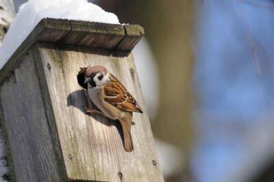 Fototapet Vid vinter efterbehandling Tree Sparrow undersöker eventuellt kapsla faci