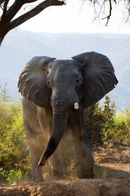 Fototapet Vild elefant kastar dammet. Zambia. Lower Zambezi National Park. Zambezifloden. En utmärkt illustration.