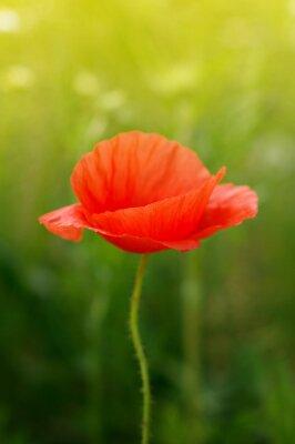 Fototapet vild vallmo blomma på fältet