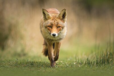 Fototapet Vilda röda räven
