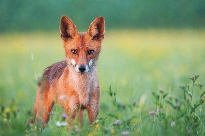 Fototapet Vilda röda räven tittar på kameran