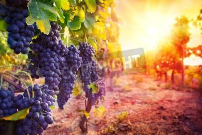 Fototapet vingård med mogna druvor i naturen vid solnedgången