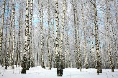 Fototapet Vinter björkhagen med täckt snö grenar