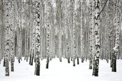 Fototapet Vinter björkskog