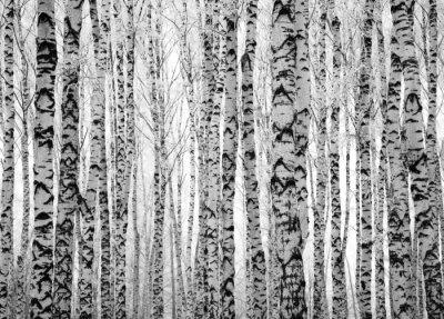 Fototapet Vinter trunkar björkar