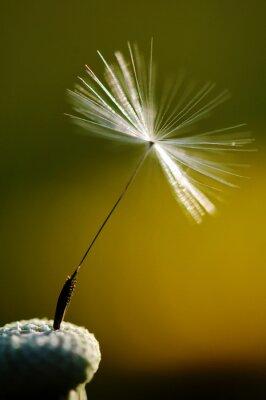 Fototapet vit blommande maskros på grön bakgrund, detalj och makrofotografering maskros frö