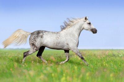 Fototapet Vit häst trav på sommaräng