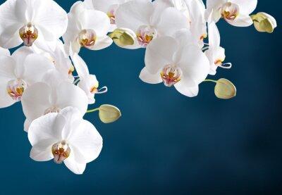 Fototapet vit orkidé