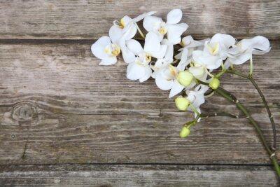 Fototapet Vit orkidé (Phalaenopsis)