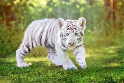 Fototapet vit tiger unge promenader utomhus