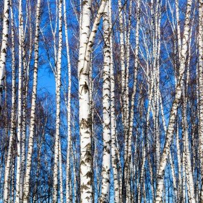 Fototapet vita björkstammar och blå himmel