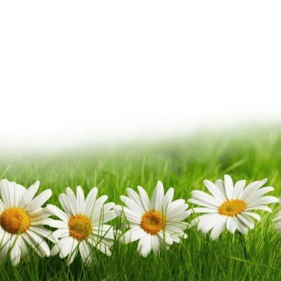 Fototapet Vita tusensköna blommor i grönt gräs