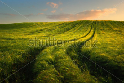 Fototapet Wheat field landscape with path in the sunset time
