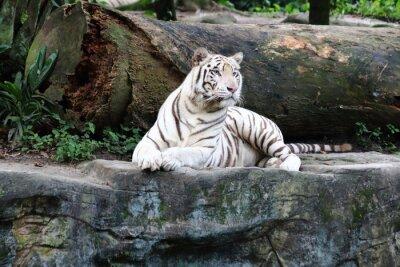 Fototapet White Tiger 4