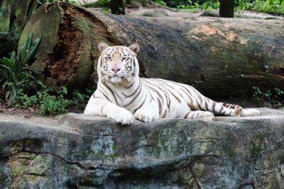 Fototapet White Tiger 5