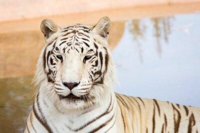 Fototapet White Tiger på zoo
