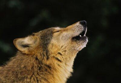 Fototapet Wolf Howling porträtt