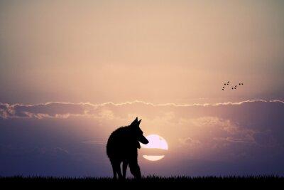 Fototapet wolf i solnedgången