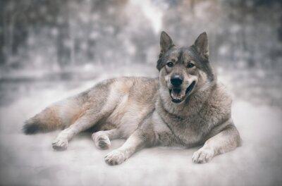 Fototapet Wolf / lycklig av varg på snö bakgrund.