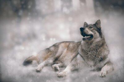 Fototapet Wolf / Nice varg på snö bakgrund.