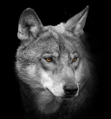 Fototapet wolf porträtt
