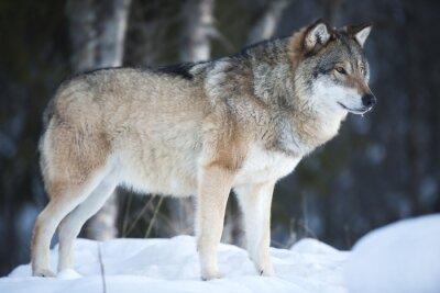 Fototapet Wolf står i den kalla vintern skogen