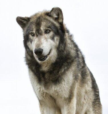 Fototapet Wolfhuvudet på vit bakgrund