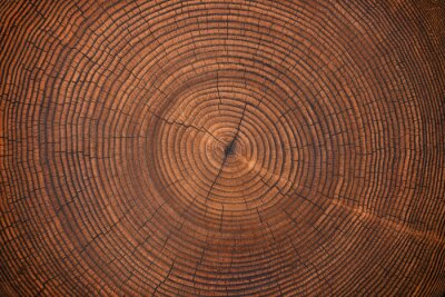 Fototapet wood texture of old stump. natural background of cut trunk with annual rings