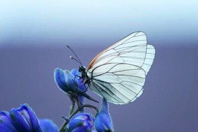 Fototapet белая бабочка на синем цветке