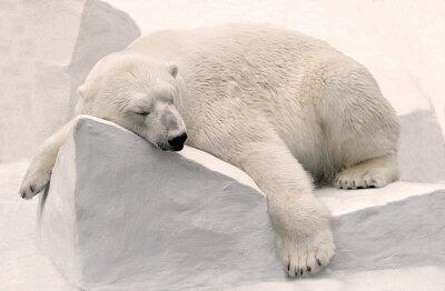 Fototapet Белый медведь спит.