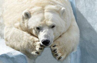 Fototapet Белый медведь.