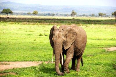 Fototapet Африканский слон