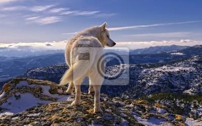 Fototapet Волк
