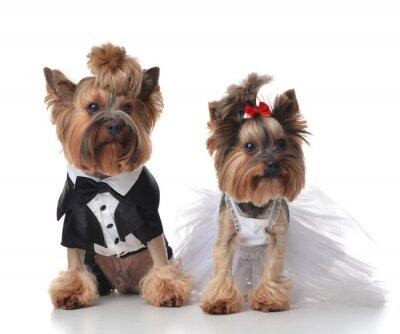 Fototapet Yorkshire terrier uppklädd för bröllop som kvast och brud s