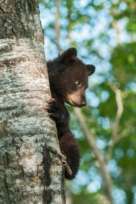 Fototapet Young Black Bear (Ursus americanus) På sidan av träd