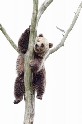 Fototapet Young brown bear in a tree